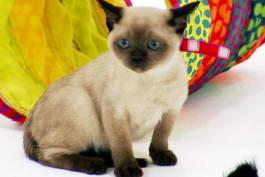 Cats 101 - Tonkinese