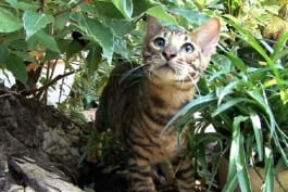 Cats 101 - Toyger