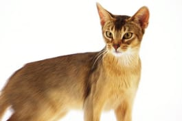 Cats 101 - Abyssinian