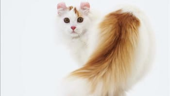 American Curl Cat Australia