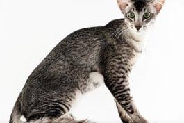Cats 101 - Oriental