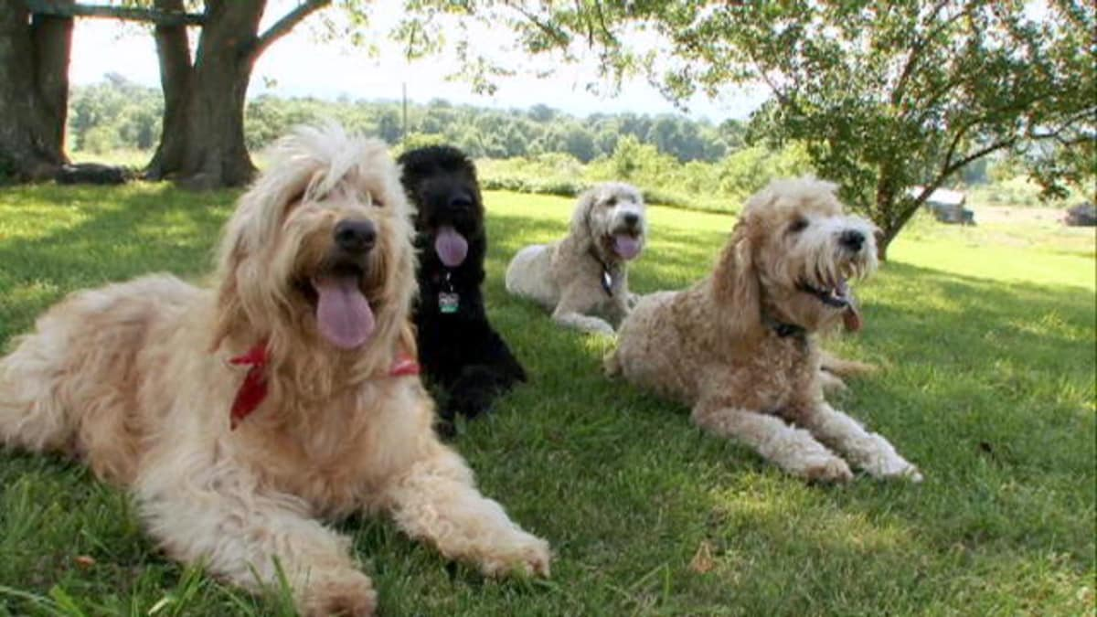 Goldendoodle Dogs 101 Animal Planet