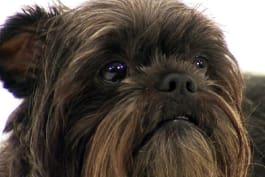 Dogs 101 - Affenpinscher