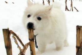 Dogs 101 - American Eskimo