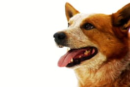 Dogs 101 - Australian Cattle Dog