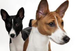 Dogs 101 - Basenji