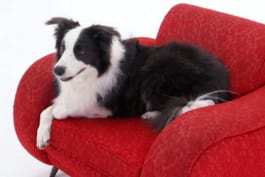 Dogs 101 - Border Collie