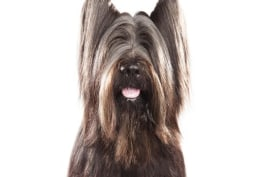 Dogs 101 - Briard