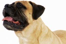 Dogs 101 - Bullmastiff