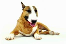 Dogs 101 - Bull Terrier