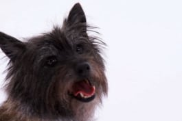 Dogs 101 - Cairn Terrier