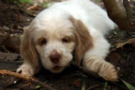 Dogs 101 - Clumber Spaniel