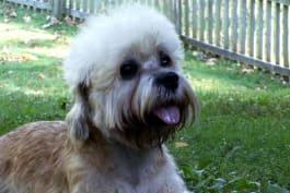 Dogs 101 - Dandie Dinmont Terrier