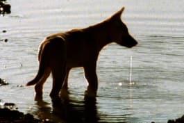 Dogs 101 - Dingo