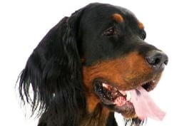 Dogs 101 - Gordon Setter