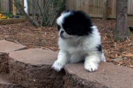 Dogs 101 - Japanese Chin