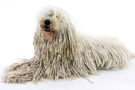 Dogs 101 - Komondor