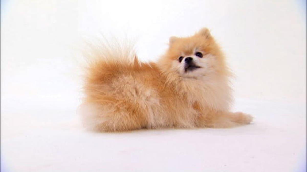 Pomeranian Dogs 101 Animal Planet