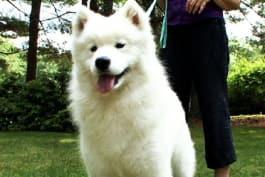 Dogs 101 - Samoyed