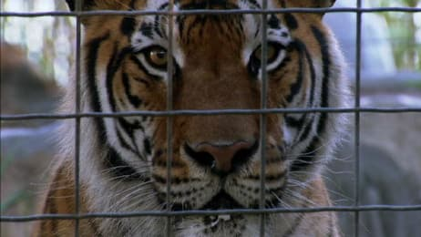 Tigers Rescued (Deleted Scene) - Fatal Attractions | Animal
