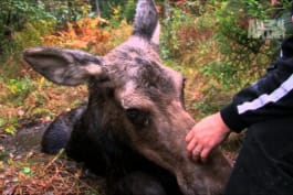 North Woods Law - Daring Moose Rescue