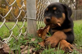 Too Cute! - Rottweiler Puppy Put in Timeout