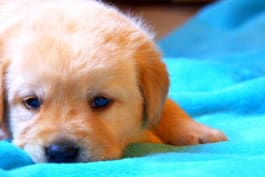 Too Cute! - The Making of a Guide Dog