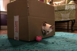 Too Cute! - Tonkinese Kittens Seek Out Someone Special