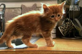 Too Cute! - Maine Coon Kittens Learn to Drink From Faucet