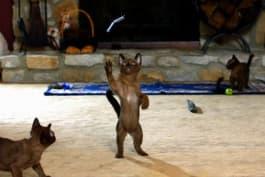 Too Cute! - Burmese Kittens Hone Climbing Skills