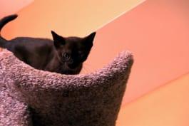 Too Cute! - Burmese Kittens Reach New Heights