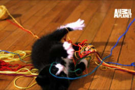 Too Cute! - Slow Motion Playtime for Siberian Kittens