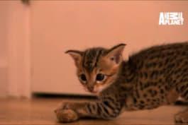 Too Cute! - The Savannah Kittens Hone Hunting Skills