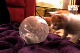 Too Cute! - Kittens Make Friends with Guinea Pig