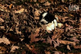 Too Cute! - Havenese Pups Romp Through the Leaves
