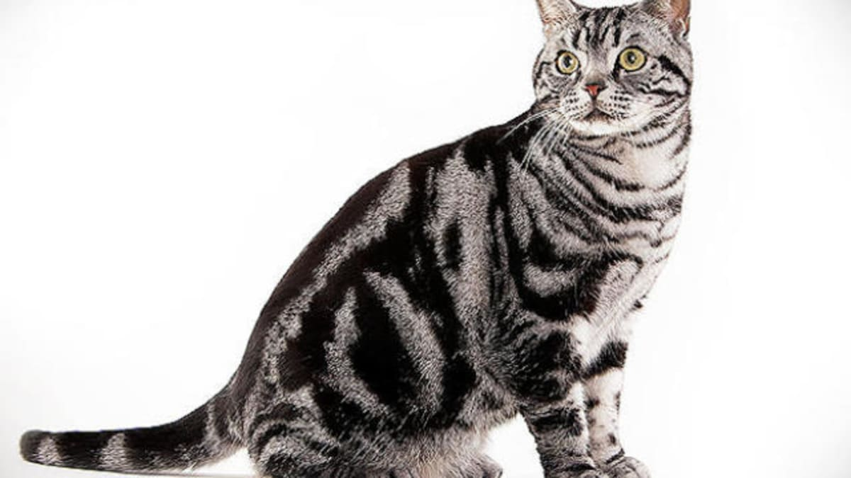 American Shorthair Cat Images