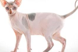 Cats 101 - Sphynx