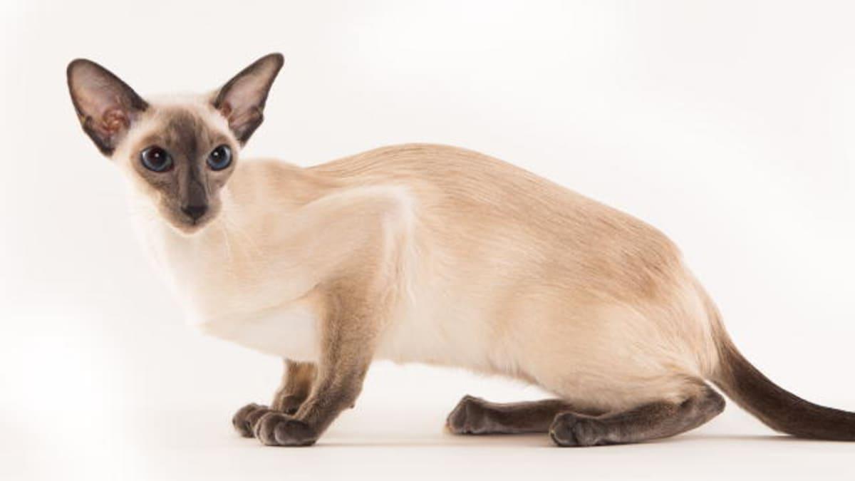 siamese cats 101 animal planet