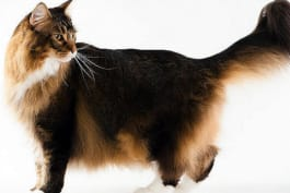 Cats 101 - Maine Coon