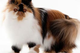 Cats 101 - Persian