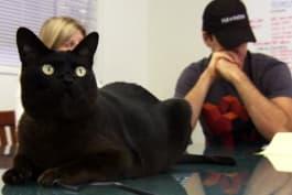 Cats 101 - Burmese