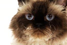 Cats 101 - Selkirk Rex