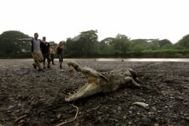 Monster Week - Catching Monster Crocs in Costa Rica for Science