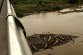 Monster Week - Costa Rica's 'Croc Bridge' Does Not Disappoint