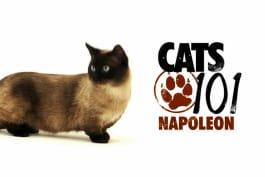 Cats 101 - Napolean