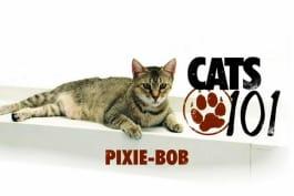 Cats 101 - Pixie Bob