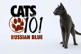 Cats 101 - Russian Blue