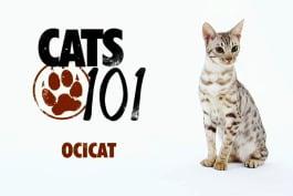 Cats 101 - Ocicat