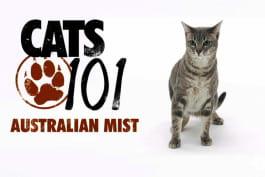 Cats 101 - Australian Mist