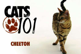 Cats 101 - Cheetoh